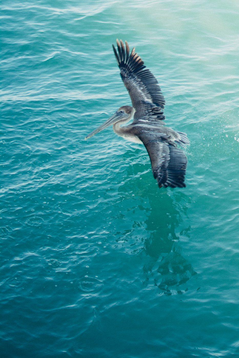 Pelican by Jenny Bess