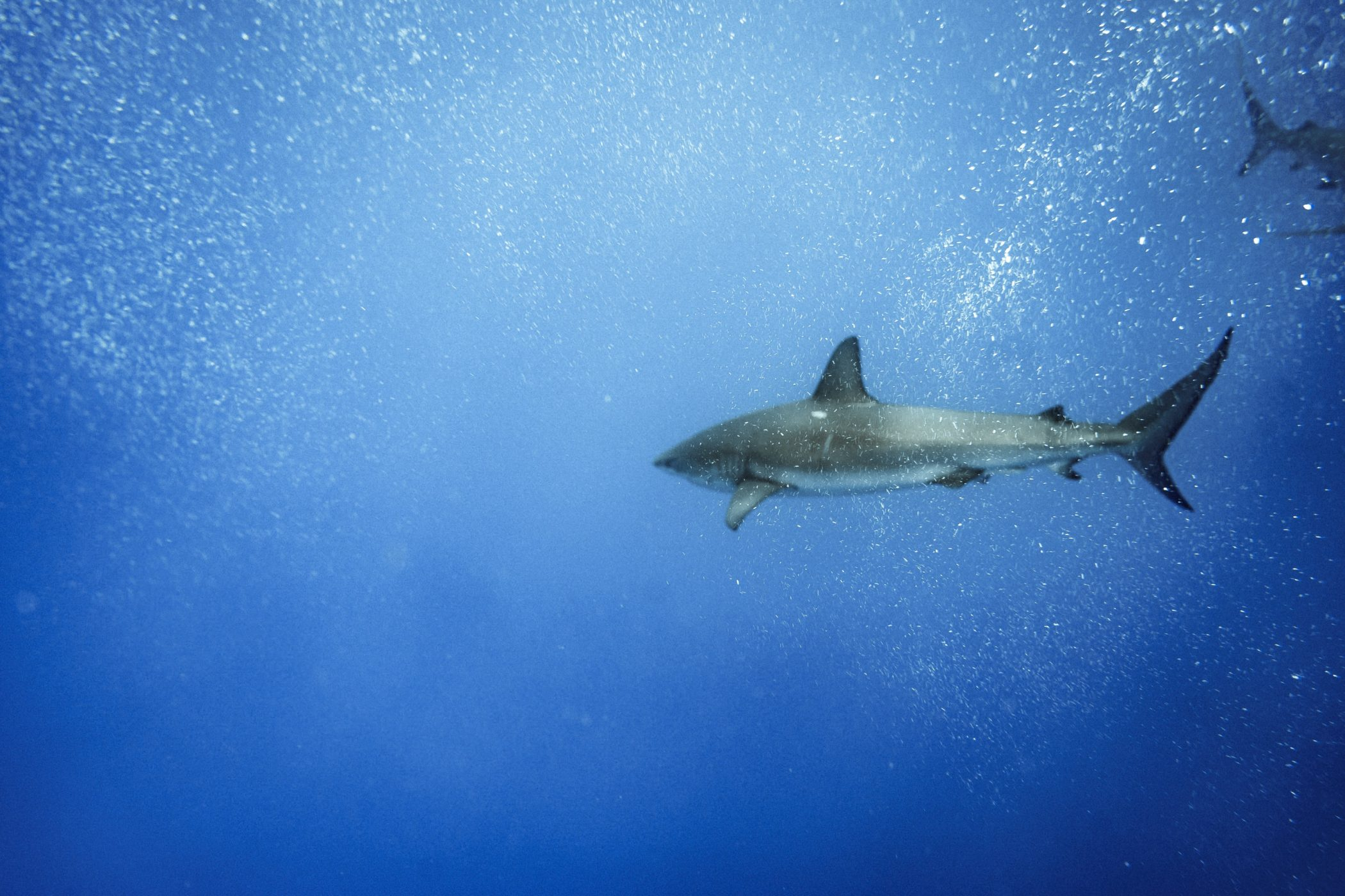 swimming with sharks in Oahu